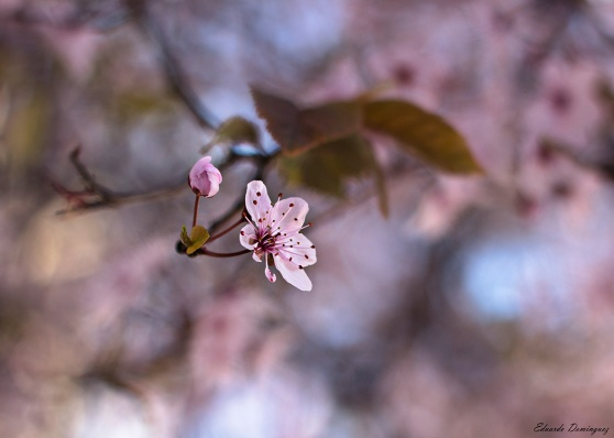 flor-cerezo